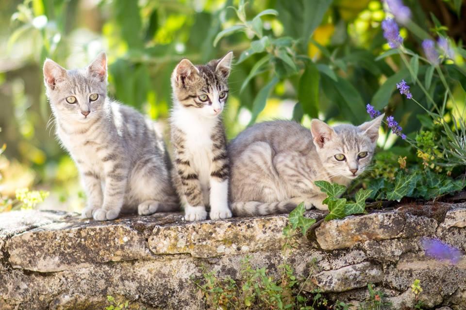 chatons de lezay